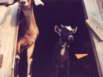Fun Facts About Goats