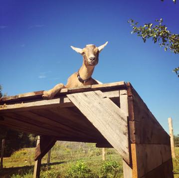 Why Keep Goats?