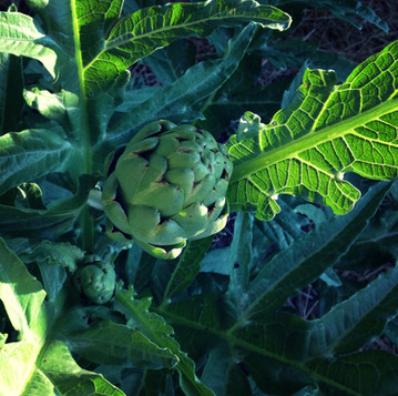 How to Grow Artichokes in Maine