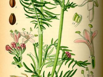 Helpful Herbs: Valerian