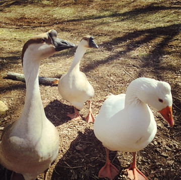 12 Questions to Ask Before Getting Geese