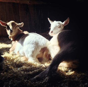 How to Tell if Your Goat is Pregnant