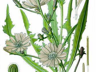 Helpful Herbs: Chicory