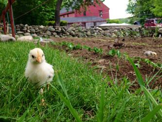 Ordering Spring Chicks
