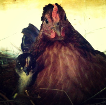 Hatching Chicks from Eggs