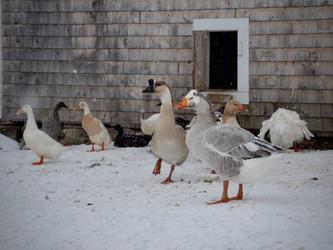 Keeping Geese in Winter -- Top Three Tips