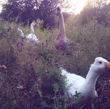 Imprinting in Goslings and Ducklings