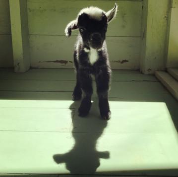 Raising a Bottle Goat