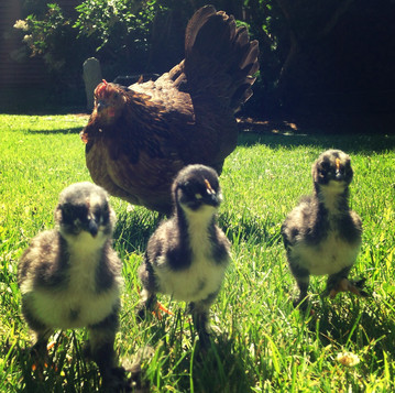 Introducing Chicks to Your Flock