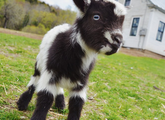 Introducing the 2019 Goat Kids!