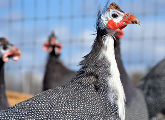 Guinea Fowl on the Modern Homestead