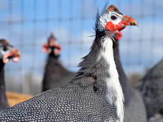 Guinea Fowl on the Modern Homestead