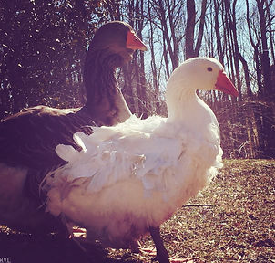 Escapades with Geese, shared by Hostile Valley Living at The Chicken Chick's Clever Chicks Blog Hop