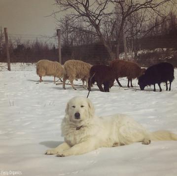 Getting a Livestock Guardian Dog