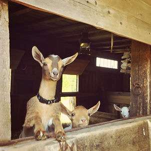 Keeping Goats Amused, shared by Hostile Valley Living at The Chicken Chick's Clever Chicks Blog Hop