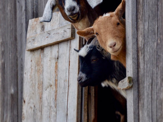 'Permaculture Pets' at Hostile Valley Farm