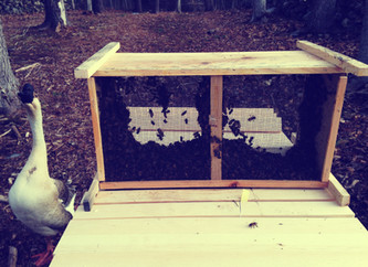 Installing Bees in a Top Bar Hive