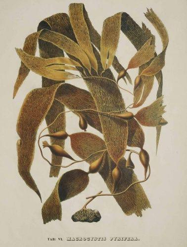from Illustrarations Algarum, 1840