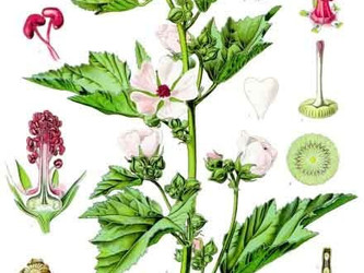 Helpful Herbs: Marshmallow