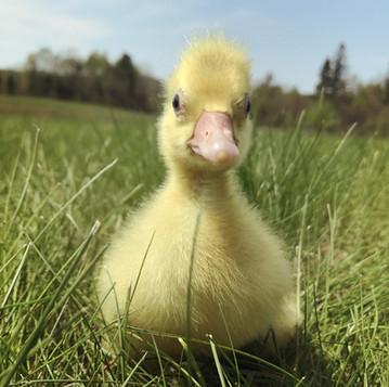 Introducing New Goslings