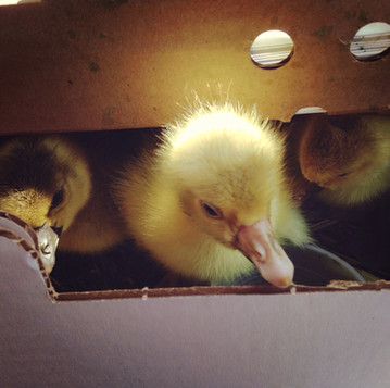 The Goslings Are Here!