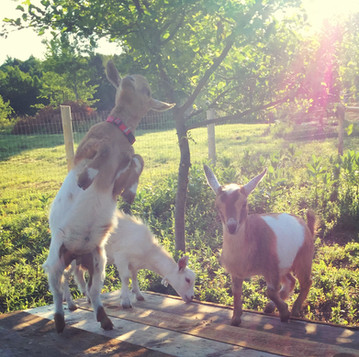 Keeping Goats Amused