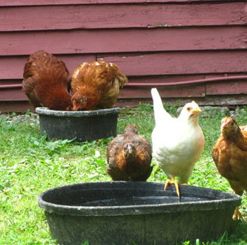 Keeping Your Poultry Cool in Summer