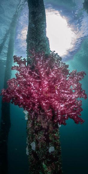 Coral Banner slim.jpg