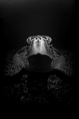 Portrait of a Turtle