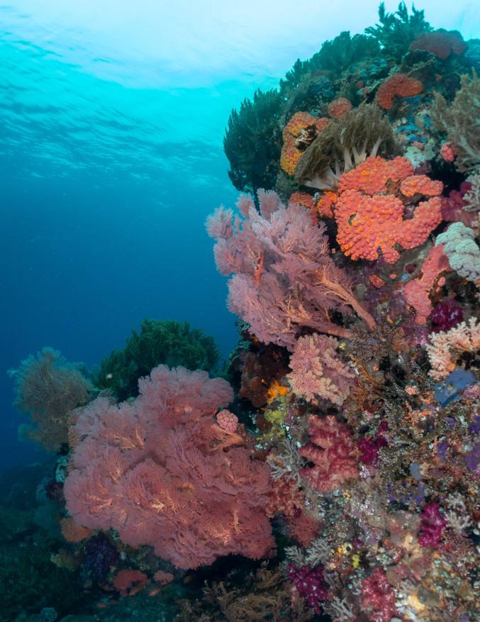 Corals of Raja