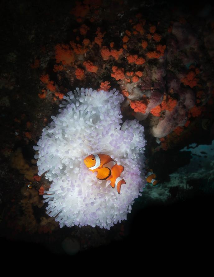 Nemo white anenome (1 of 1).jpg