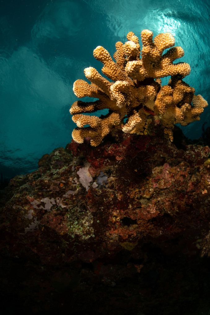 Corals of the Gilis