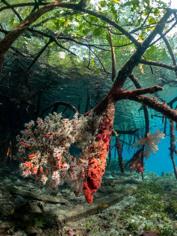 Mangroves of Raja Ampat