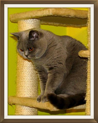 britska modra macka