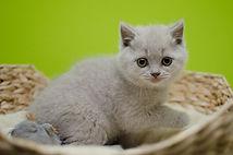 britske modre maciatko