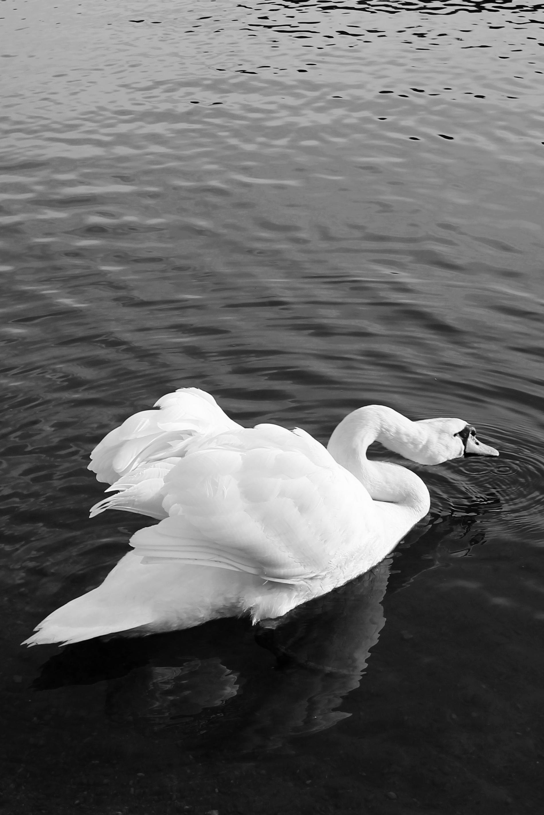 Swan, Austria, 2016