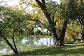 The Rainy Day Naturalist: Cottonwood Trees