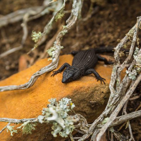 Black Girdled Lizard   Cape Town, South Africa