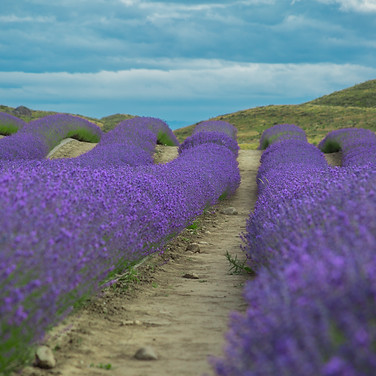 Lavender Fields | New Zealand