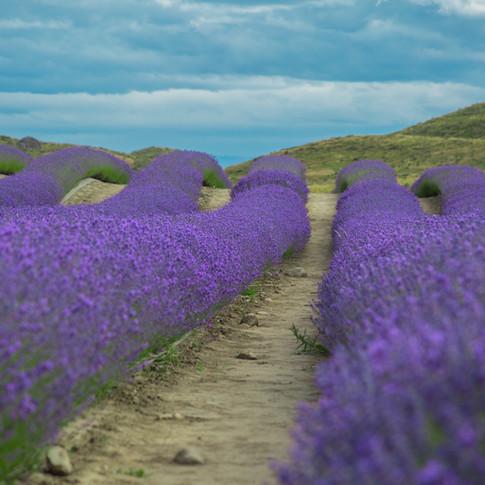 Lavender Fields   New Zealand