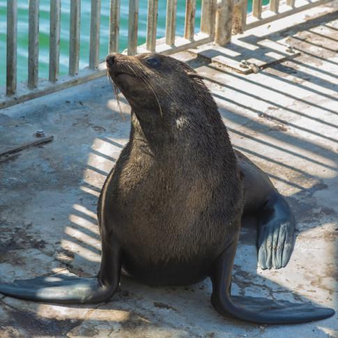 Furry Seal