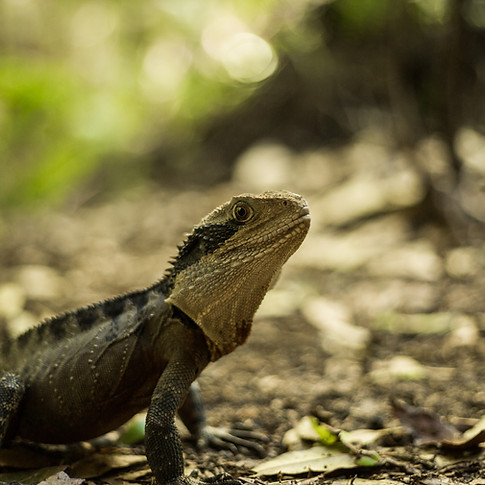 Lizard - Blue Mountains, New South Wales
