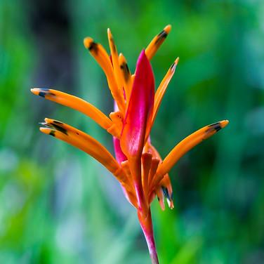 Fiji Plant