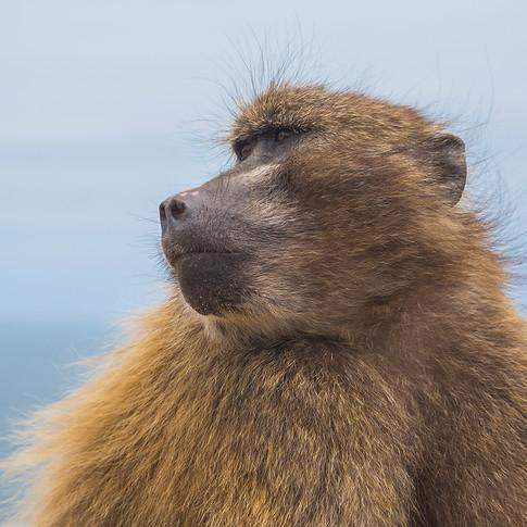 Baboon - Glorious