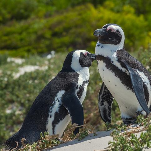 Sleepy Penguins   Boulders Point, South Africa