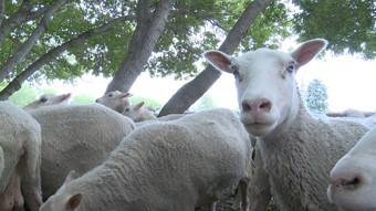 Fort Saskatchewan Sheep