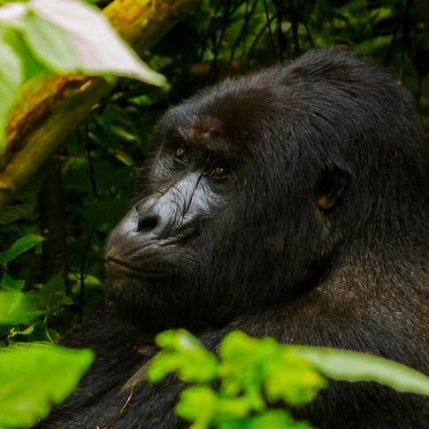 Silverback Mountain Gorilla   Uganda, Africa