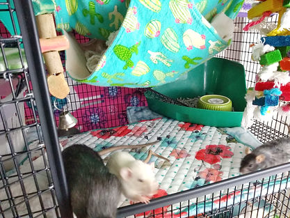 pet rats litter box