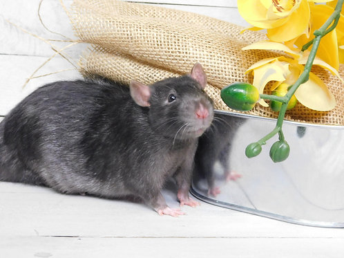 Retired Adult Rat