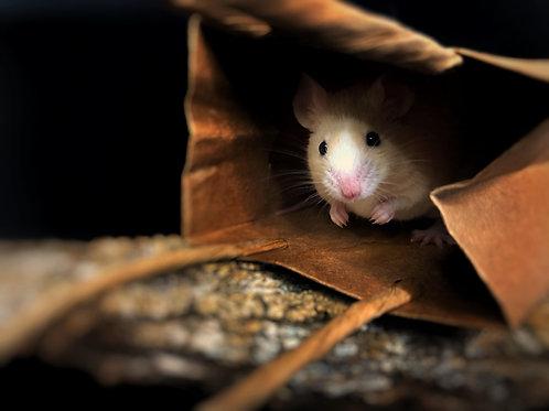 Trio of Female Mice